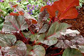 ace of hearts ornamental rhubarb rheum ace of hearts in