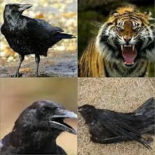 Crow Meme - adelaide crows fc memes home facebook