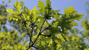 new zealand native plants and trees quercus robur l plants of the world online kew science