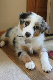 australian shepherd 11 weeks old best 25 australian shepherd names ideas on pinterest australian