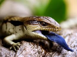 blue tongue lizard australia