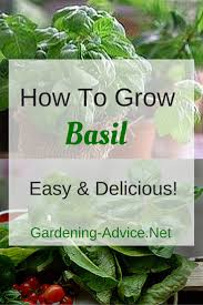growing basil how to grow basil the easy way