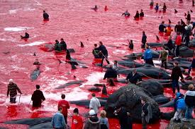 the grind faroe islands divided whaling tradition rn abc