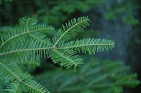 balsam fir abies balsamea in inver grove heights minnesota mn