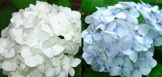 hydrangea white my white hydrangeas won t stay white heels for hydrangeas