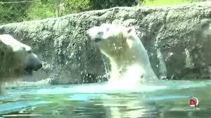 Zoo Lights Tacoma Wa by Polar Bears At Point Defiance Zoo U0026 Aquarium Tacoma Washington