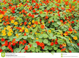nasturtium flowers nasturtium flower bed stock photo image 38757400