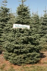 silvertip fir fir california fir abies magnifica