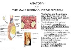 The Anatomy Of The Male Reproductive System Reproductive Sytem Ppt Download