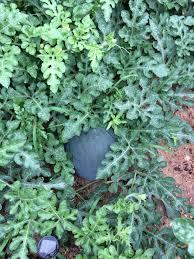 icebox watermelon u2013 heirloom sugar baby melons coffee and