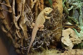 free photo bearded dragon reptile terrarium free image on
