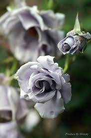 real black roses grey roses how do i not this objects of desire
