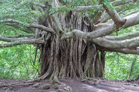 trees in hawaii are and awesome huffpost
