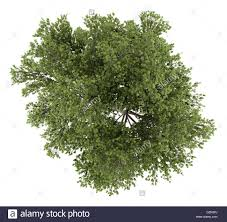 White Oak Leaf Oak Tree Cutout Stock Photos U0026 Oak Tree Cutout Stock Images Alamy