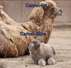Camel Memes - i can has cheezburger camel funny animals online cheezburger