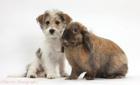 bichon frise cute pets cute bichon frise x jack russell puppy and rabbit photo