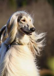 afghan hound hairstyles photography by mirjanper on deviantart afghan hound pinterest