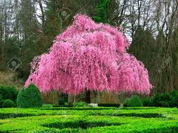 pink flower tree beautiful pink flower tree stock photo picture and royalty free