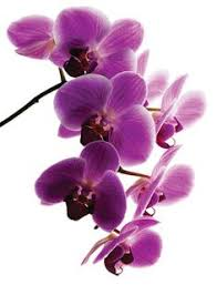 purple orchid flower 70 beautiful purple flowers care growing tips orchid