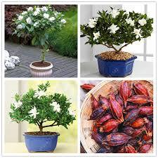 Fragrant Potted Plants - aliexpress com buy 2pcs bag gardenia bulbs cape jasmine
