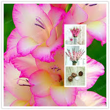 gladiolus flowers 2 bulbstrue pink gladiolus bulbs beautiful gladiolus flower not