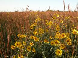native wisconsin plants big bluestem andropogon geradii and sawtooth sunflower
