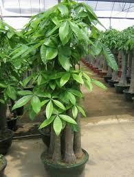 live indoor plants pachira macrocarpa bonsai money trees live trees decorative