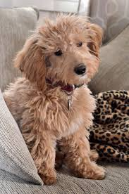 Gingerdoodle by Best 25 Miniature Golden Doodles Ideas That You Will Like On