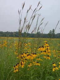native plant and seed big bluestem native prairie grass and black eyed susans