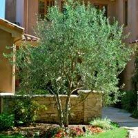 growing olive trees in the napa valley napa master gardener