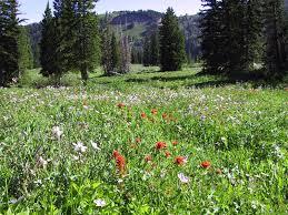 Flower Area - tony grove lake bear river range