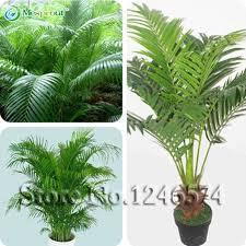 decorative indoor plants 5pcs bag chrysalidocarpus lutescens seeds home decoration seeds