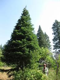 astonishing real trees typesreal atlanta for