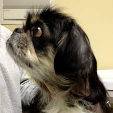 dogs have spring allergies 6 year old pekingnese allergy success