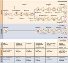 the process of meiosis biology i