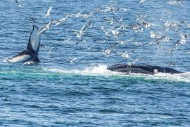 watching humpback whales galore off of cape cod massachusetts