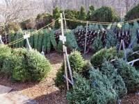 local places to buy trees andover ma patch