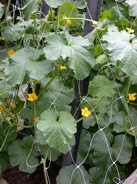 top 10 tips and advice on how to grow cantaloupes top inspired
