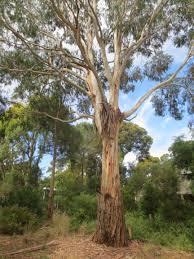 australian native plant species australian native trees nina killham