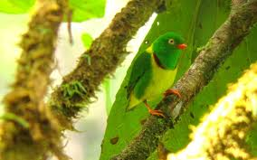 colors close to yellow yellow collared chlorophonia chlorophonia flavirostris lovely