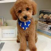 different toy poodle cuts new york dog nanny 185 photos 106 reviews pet groomers 126
