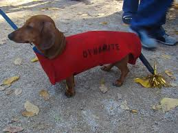 Halloween Costumes Miniature Dachshunds 562 Halloween Puppies Costume Images