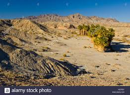 desert fan palm trees washingtonia filifera below mountains 17