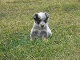 australian shepherd queensland heeler mix pictures 18 best haha cute images on pinterest