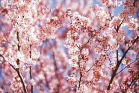cherry blossom tree facts types of cherry blossom trees home guides sf gate