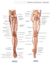 Foot Vascular Anatomy Human Foot Archives Page 10 Of 14 Human Anatomy Diagram