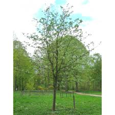 sorbus thibetica mitchell buy whitebeam tree sorbus trees