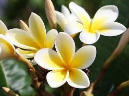 plumeria flower heirloom 5 seeds plumeria alba yellow white flower garden