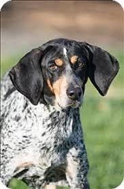 bluetick coonhound dander elizabethton tn bluetick coonhound meet blue a dog for