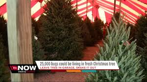 real christmas tree how to get rid of the of bugs in your real christmas tree